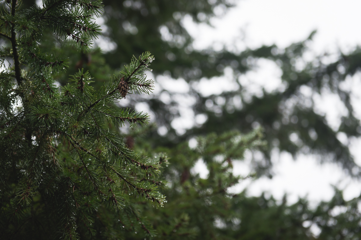 water droplets on fir tree boughs by megan cieloha