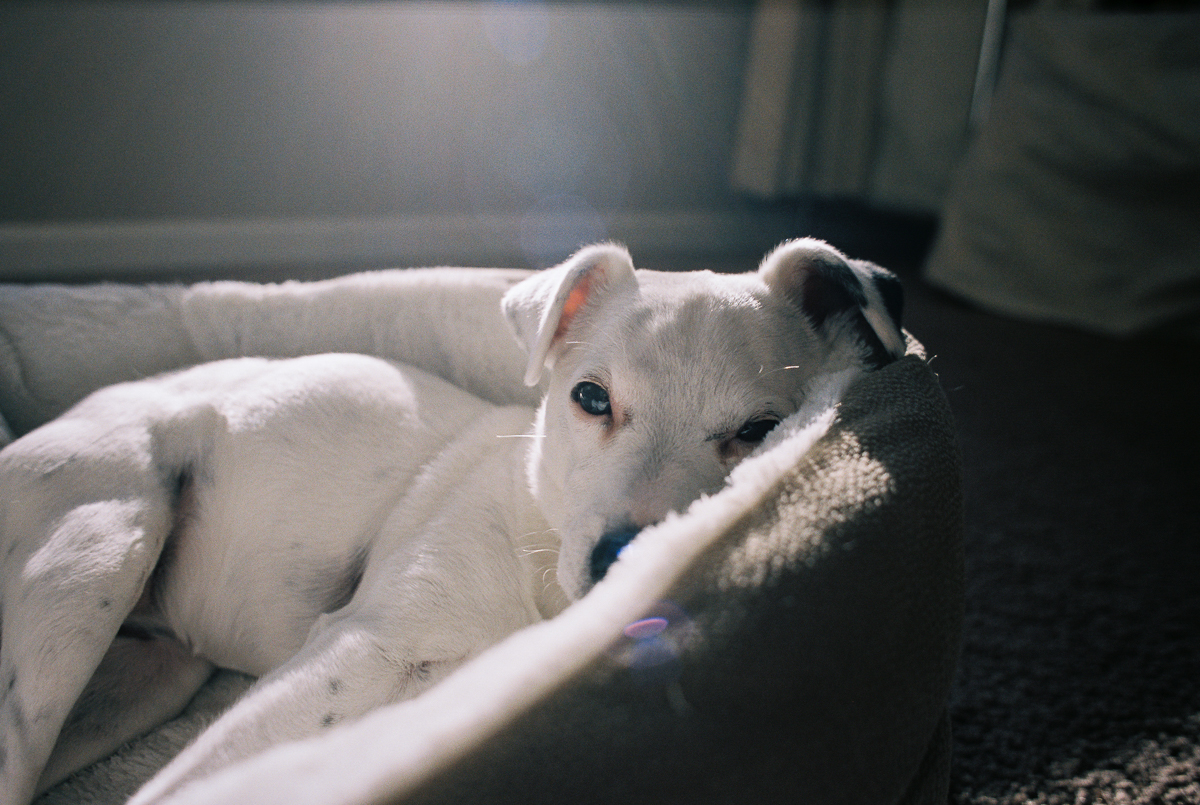 jack russell terrier dog laying in bed in film photo by megan cieloha
