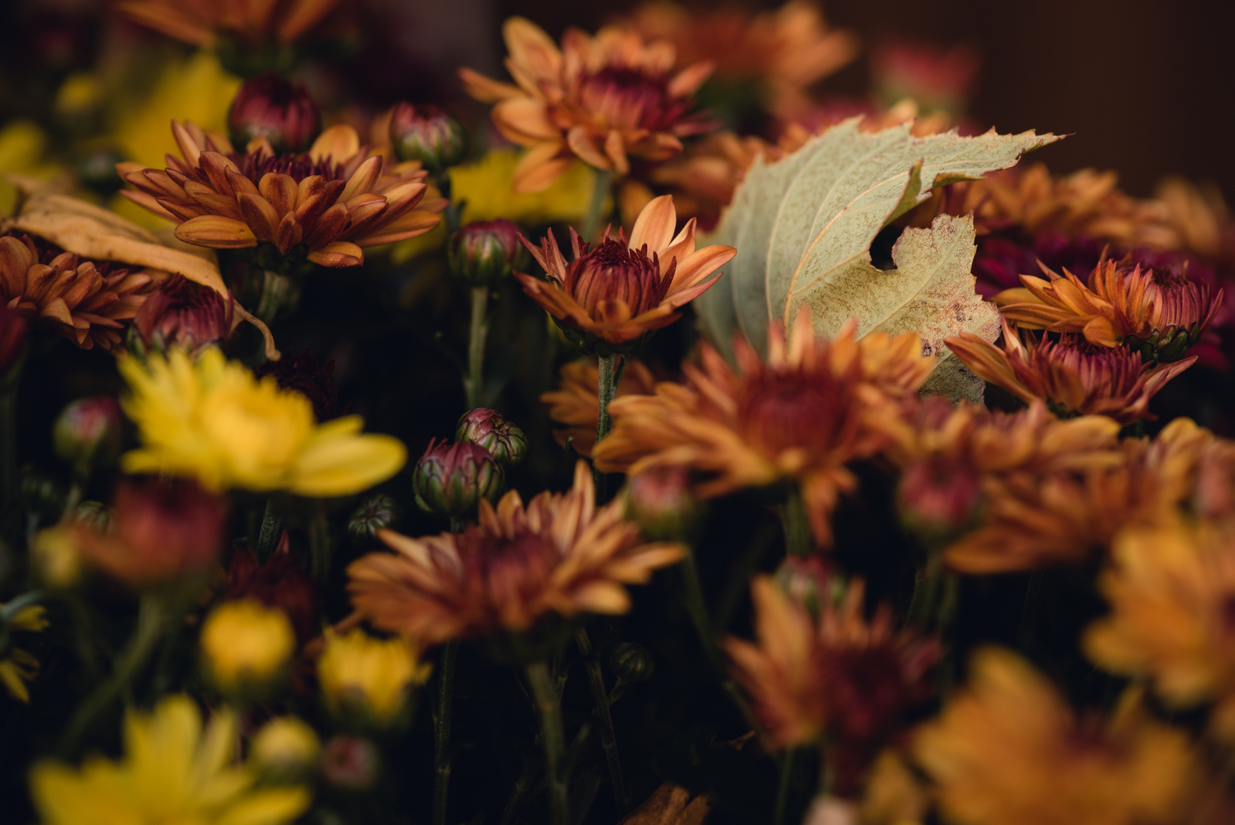 rust colored fall mums photo by megan cieloha